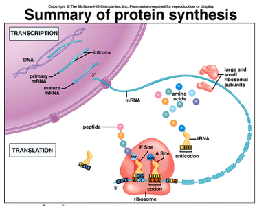 Enzymes involved in protein synthesis